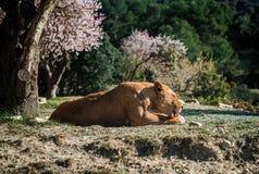 Bugia della leonessa su una terra Fotografia Stock Libera da Diritti