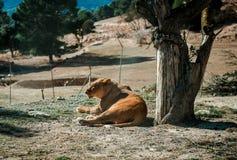Bugia della leonessa su una terra Fotografia Stock