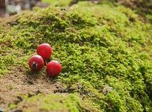 Bugia rossa delle bacche su muschio fotografia stock libera da diritti