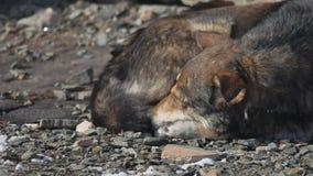 Bugia senza tetto congelata dei cani sulla terra un pacchetto dei cani senza tetto abbandonati congelati si riscalda circa a vice stock footage