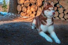 Bugie del husky siberiano sulla legna da ardere del ceppo del fondo Bello cane con il cappotto bruno-rossastro Copi lo spazio immagine stock libera da diritti