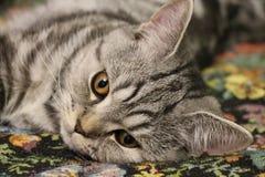 Bugie lanuginose a strisce di un gatto Immagine Stock