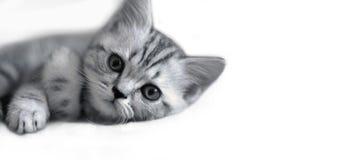 Bugie sveglie del gattino Immagine Stock