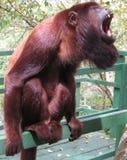 Bugio małpy otwarty usta zdjęcie royalty free