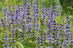 Bugle - Ajuga reptans Stock Photography