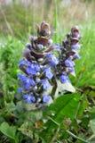 Bugle azul o Bugleweed (reptans del Ajuga) imagen de archivo libre de regalías