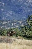 Bugle de Rocky Mountain Foto de archivo