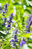 Bugle droite, bugle bleue, Bugleweed de Genève, Bugleweed bleu, (genevensis d'Ajuga) Photographie stock