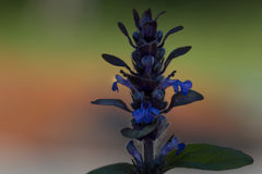 Bugle. In front of a bright background, a bugle blooms Royalty Free Stock Photos