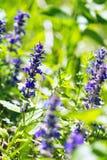 Bugle vertical, bugle azul, Bugleweed de Ginebra, Bugleweed azul, (genevensis del Ajuga) Fotografía de archivo