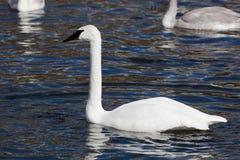Bugler, Trumpeter, Swan, Cygnus buccinator Royalty Free Stock Photography
