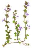 Bugleweed (Ajuga reptans) Stock Image