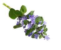 Bugleweed Flower Royalty Free Stock Photography