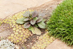 Bugleweed & x28; Reptans Purpurea& x29 Ajuga; куст с красочными листьями стоковое фото rf