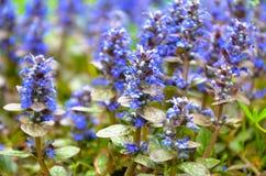 Bugleweeds azuis de florescência - Ajuga no prado do verão Imagens de Stock Royalty Free
