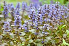 Bugleweeds azuis de florescência - Ajuga no prado do verão Fotos de Stock