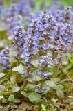 Bugleweeds azuis de florescência - Ajuga no prado do verão Imagem de Stock Royalty Free