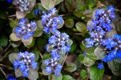 Bugleweeds azuis de florescência - Ajuga no prado do verão Fotografia de Stock Royalty Free