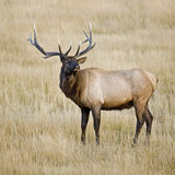 bugling的公牛麋黄石 图库摄影