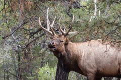 bugling的公牛麋 免版税图库摄影