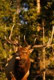 bugling άλκες ταύρων Στοκ φωτογραφία με δικαίωμα ελεύθερης χρήσης