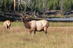 bugling лось быка величественный Стоковые Изображения RF