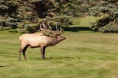 bugling лось быка Стоковые Фото