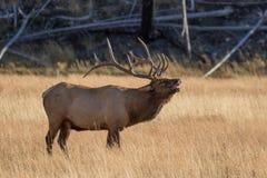 bugling лось быка Стоковое Изображение RF