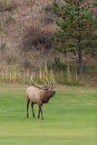bugling лось быка Стоковая Фотография