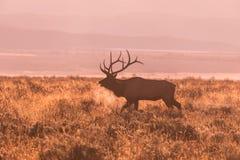 bugling лось быка Стоковые Изображения RF