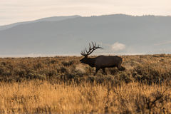 bugling лось быка Стоковые Изображения