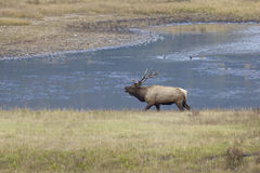 Bugling Big Bull Elk Royalty Free Stock Photography