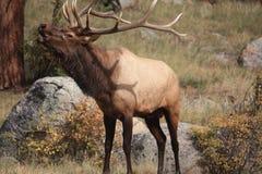 Bugling Bull Stockfoto
