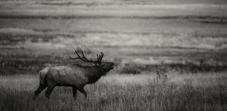 Bugling bull in black and white. A bull elk bugles during the annual elk rut in Rocky Mountain national park, Colorado Royalty Free Stock Images