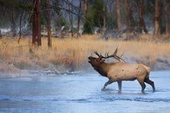 Bugling Bull dans le fleuve de Madison image stock