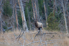 Bugling Bull Elk Royalty Free Stock Images