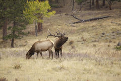 Bugling Bull Elk Stock Photography
