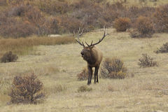 Bugling Bull Elk Stock Photo