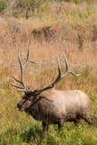 Bugling Bull Elk Stock Image