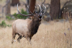 Bugling bull elk charging another bull Stock Image