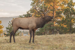 Bugling Bull Elk Royalty Free Stock Photography