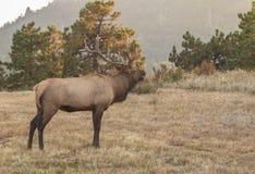 Bugling Bull Elk in Fall Stock Image