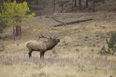 Bugling Bull Elk in Meadow Stock Photos