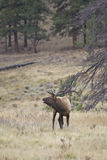 Bugling Bull Elk in Meadow Stock Image