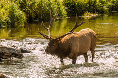 Bugling Bull Elk in Stream Royalty Free Stock Image