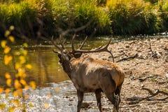 bugling byka elk Zdjęcie Stock
