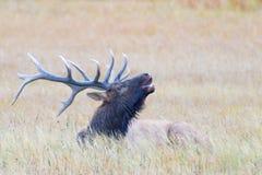 Bugling Elk Stock Images