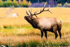 bugling elk Obrazy Royalty Free