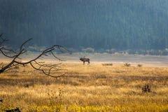 bugling elk Fotografia Royalty Free