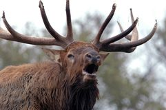 Bugling Elk Close Up. Bull elk bugling in early autumn Stock Photography